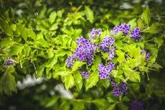 Buske för blomning för Duranta erecta purpurfärgad arkivbilder