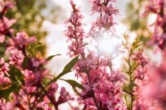 Buske för blomningmandel Arkivbilder