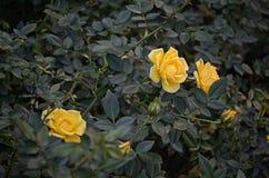 Buske för gula rosor Royaltyfria Bilder