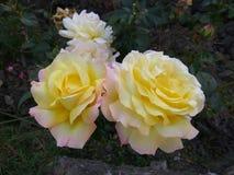 Buske för gula rosor i natur Royaltyfri Fotografi