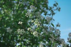 Buske för Irga blomsäsong Royaltyfri Bild