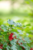 Buske för röd vinbär i den organiska lantgården Arkivfoton