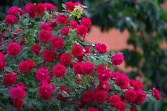 Buske för röda rosor royaltyfria foton