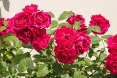 Buske för röda rosor arkivbild