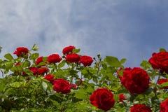 Buske för röda rosor royaltyfri foto