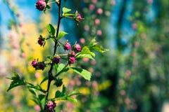 Buske för röda rosor i trädgården fotografering för bildbyråer