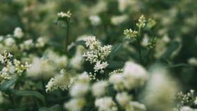 Buske för vita blommor V?xter i parken Krypet samlar pollen Ett bi eller en geting arbetar royaltyfri foto