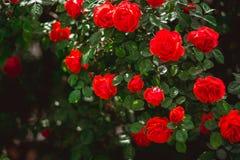 Buske f?r r?da rosor Floristics och arbeta i trädgårdenbegrepp Utrymme f?r text royaltyfri foto