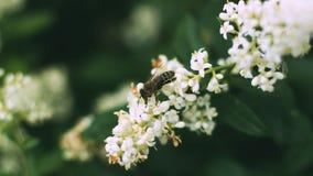 Buske f?r vita blommor V?xter i parken Krypet samlar pollen Ett bi eller en geting arbetar arkivfoton