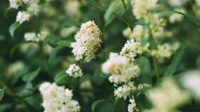 Buske f?r vita blommor V?xter i parken Krypet samlar pollen Ett bi eller en geting arbetar arkivfoto