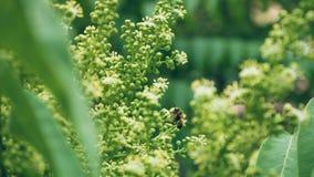 Buske f?r vita blommor V?xter i parken Krypet samlar pollen Ett bi eller en geting arbetar royaltyfri bild