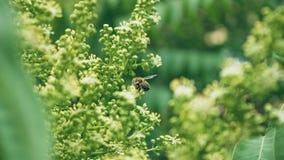 Buske f?r vita blommor V?xter i parken Krypet samlar pollen Ett bi eller en geting arbetar royaltyfri fotografi