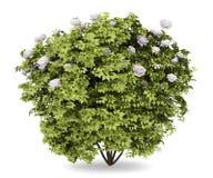 buske isolerad pionwhite arkivfoto