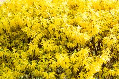 Buske med ljusa gula blommor i v?r royaltyfria foton