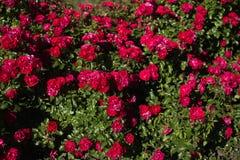 Buske med ljusa röda rosor royaltyfri bild