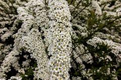 Buske med små vita blommor, skåpbil Houtte'a spirea arkivbild