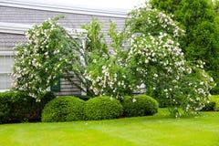 Buske med vita blommor på grön gräsmatta nära huset Arkivfoton