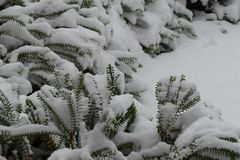 Buske under lott av snö arkivbild