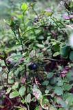 buskeblåbär i skogen Fotografering för Bildbyråer