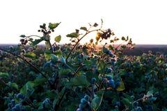 Buskecloseup på solnedgång royaltyfria foton