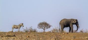 Buskeelefant för slättar sebra och afrikani den Kruger nationalparken, arkivbild