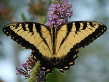 buskefjärilsarbete Royaltyfri Fotografi
