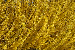 buskeforsythia Fotografering för Bildbyråer