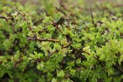 buskehagtorn Arkivfoton