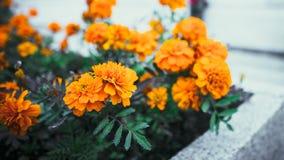 Busken är full av färgapelsinen med skarpa sönderrivna sidor Royaltyfri Fotografi