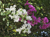 Busken av den vita och rosa oleander blommar royaltyfria bilder