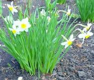 busken blommar grön white Runt om den bruna jorden Sidor gör tunnare och ansa länge in mot solen Blommar, som, om kränkt, betesma Royaltyfri Fotografi