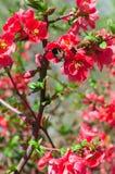 busken blommar red Arkivfoto