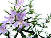 busken blommar rosmarinar Arkivfoto
