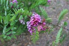 Busken har blommat med fluffiga lila blommor Arkivfoton
