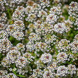 Busken med små vita blommor Royaltyfria Foton