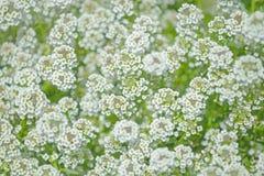 Busken med små vita blommor Arkivbilder