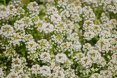 Busken med små vita blommor Royaltyfri Fotografi