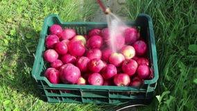 Busket av röda äpplen tvättade outdor stock video