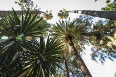 Buskig skog av palmträd som blockerar himlen på en sommardag, royaltyfri foto