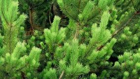 Buskigt grönt granträd lager videofilmer