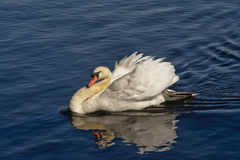 Busking male mute swan(Cygnus). Male mute swan swimming in 'busking' pose, with wings up Stock Image