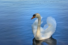 Busking mute swan (Cygnus olor). Mute swan swimming in 'busking' pose, with wings up royalty free stock images