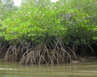 Busksnår av gröna mangroveträd Arkivbilder