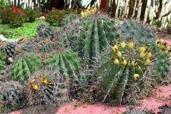 Busksnår av kaktuns Arkivbild
