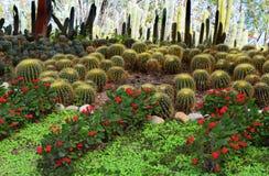 Busksnår av kaktuns Fotografering för Bildbyråer