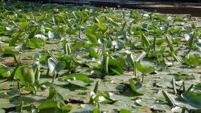Busksnår av näckrors på sjön Royaltyfria Foton