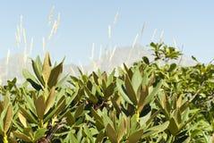 Busksnår av rhododendron mot bakgrunden av berg Royaltyfri Fotografi
