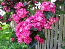 Busksnår av rosa rosor på en trävägg i en solig sommardag i landet Royaltyfria Bilder