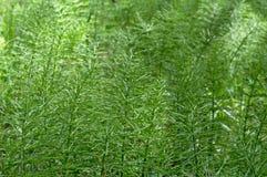 Busksnår av skoghorsetailen Arkivbild