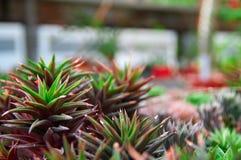 Busksnår av suckulenta Haworthia på kolonin Suckulent med lila- och gräsplansidor Suddig grön bakgrund, kopieringsutrymme Royaltyfria Bilder